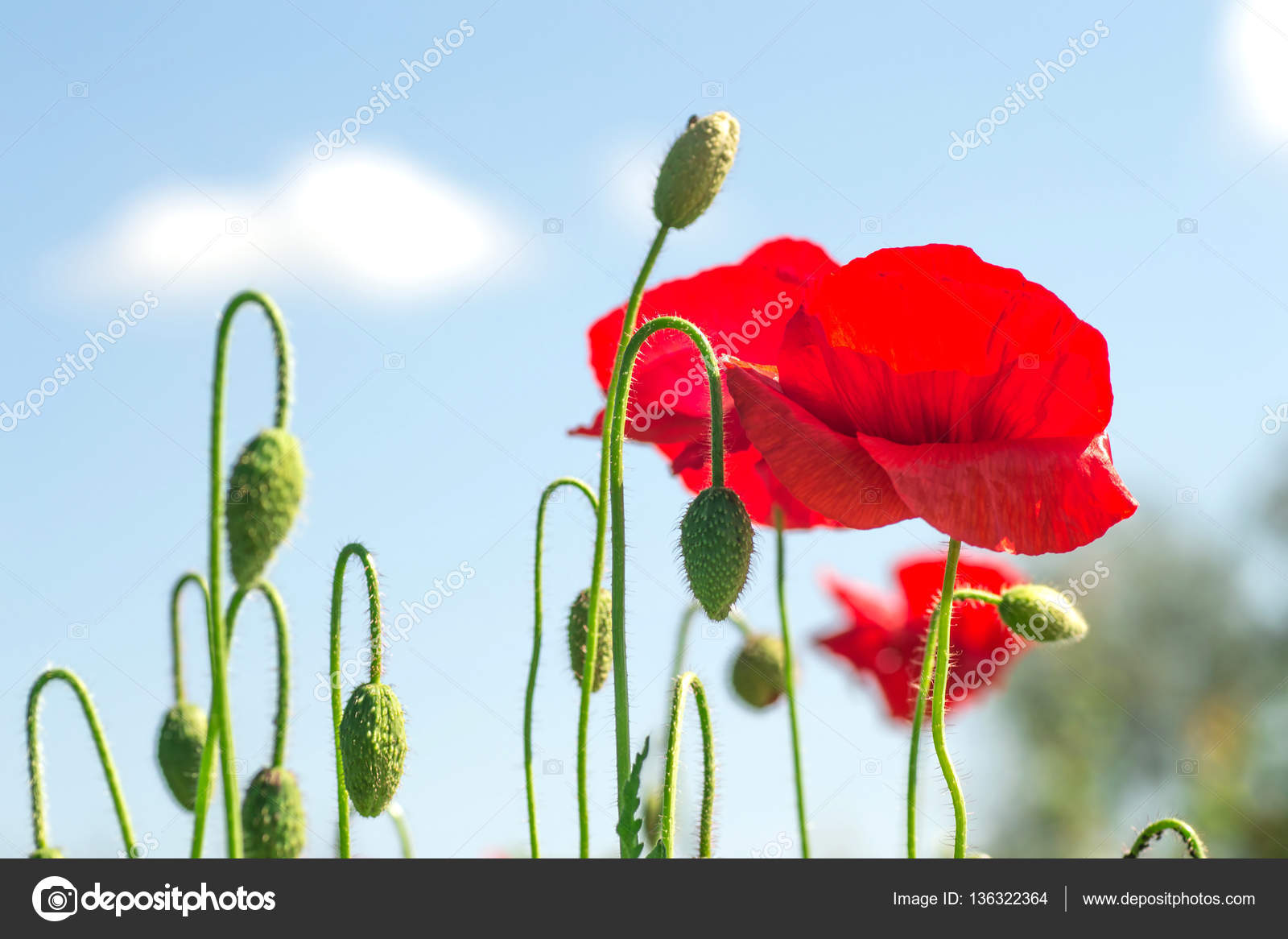 Flowering Poppies On A Background Of Blue Sky Spring Red Flowers