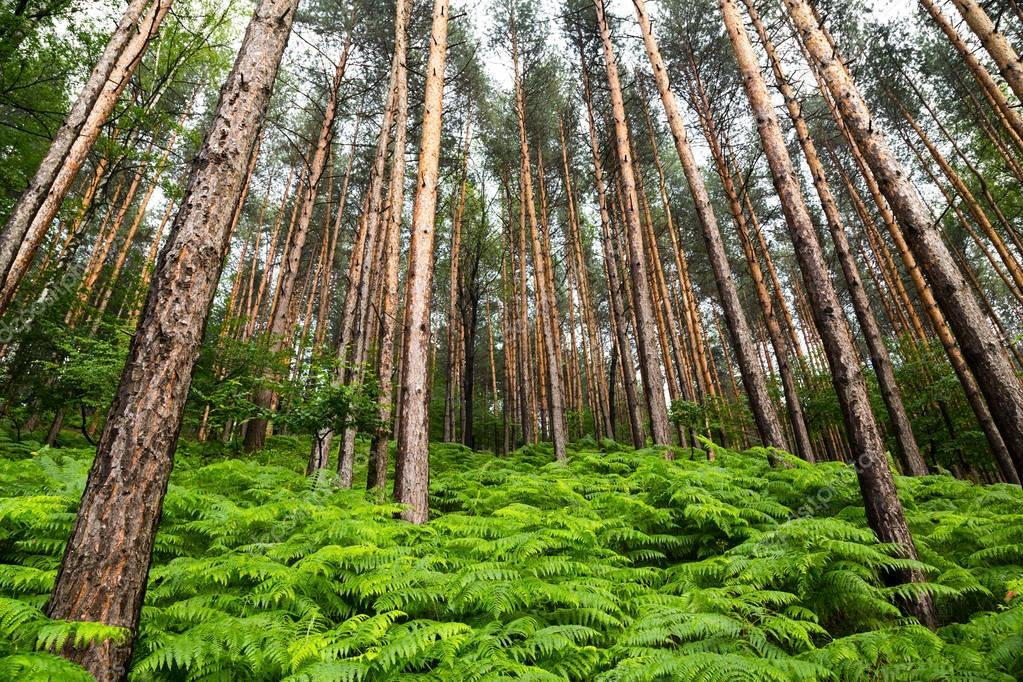 Фотообои Scenic background of spring ferns in a pine forest