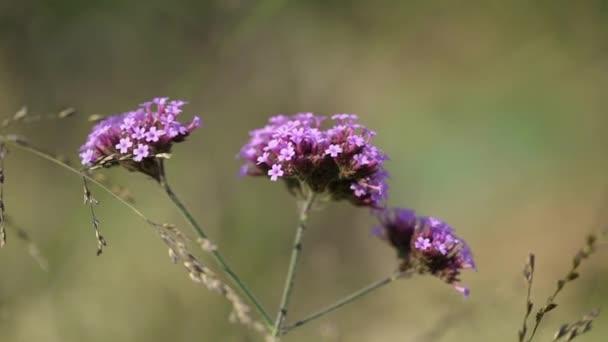 Fialové fialové květy na poli