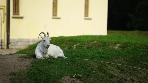 Bílá koza na farmě