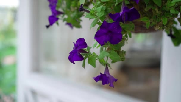 Purple or violet petunia flowers. Garden