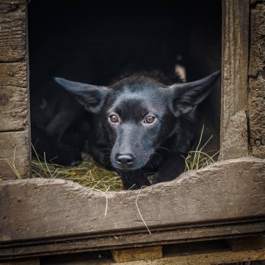 Funny black mongrel with big ears