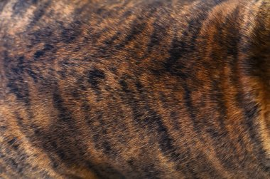 dogs fur tiger brown black color