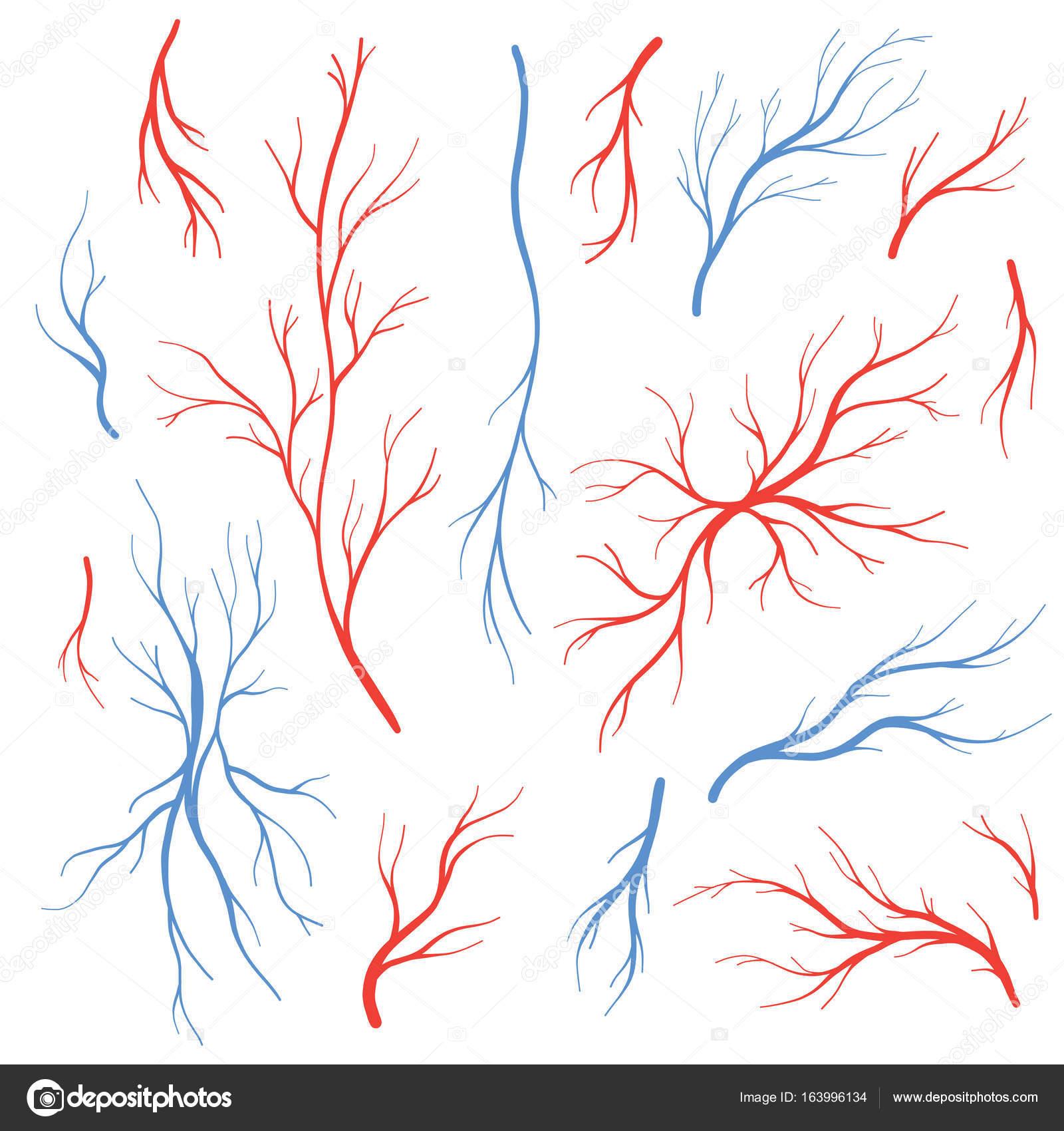 Las arterias y las venas sangre humana conjunto de vectores — Vector ...
