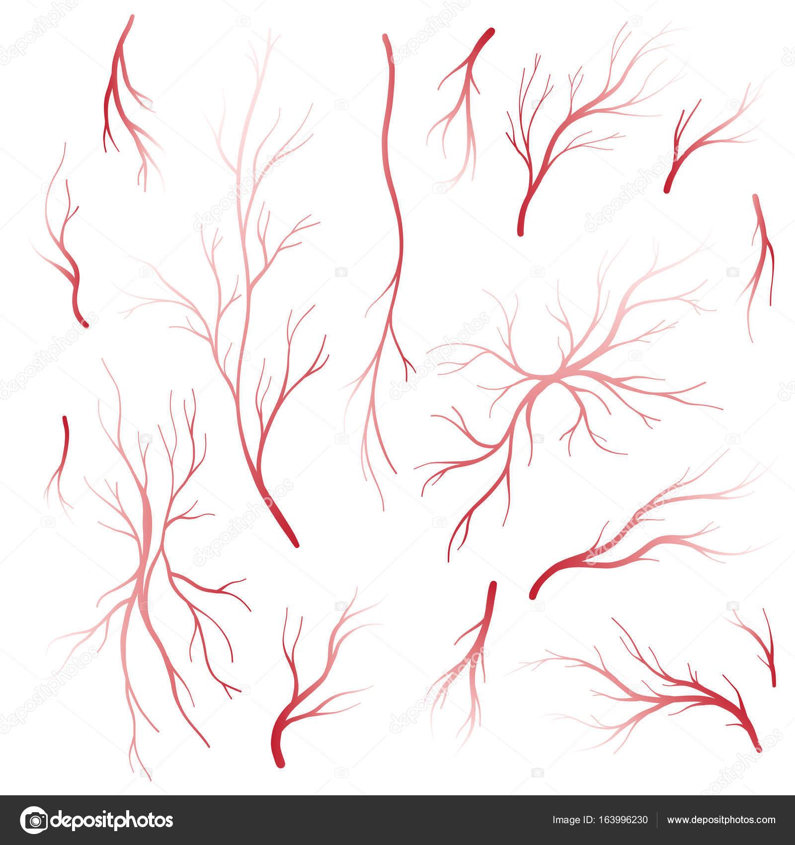 Menschlichem Blut Venen und Arterien Vektor-Satz — Stockvektor ...