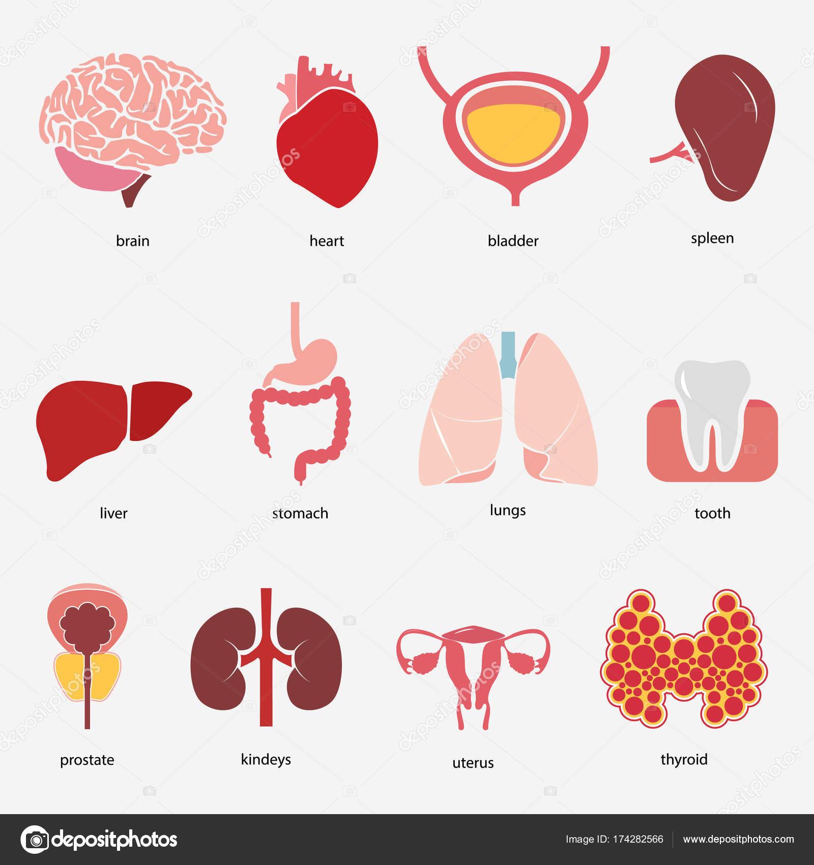 Verschiedene flache menschliche Organen set mit Gehirn Herz Lunge ...