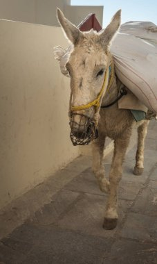 Traditional Greek donkeys in Oia on Santorini island in Greece