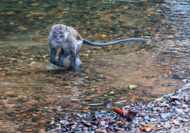 Monkey gamboling along the river in the rain forest of Khao Sok