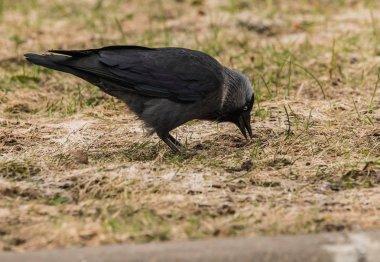A jackdow walking on a meadow in springtime