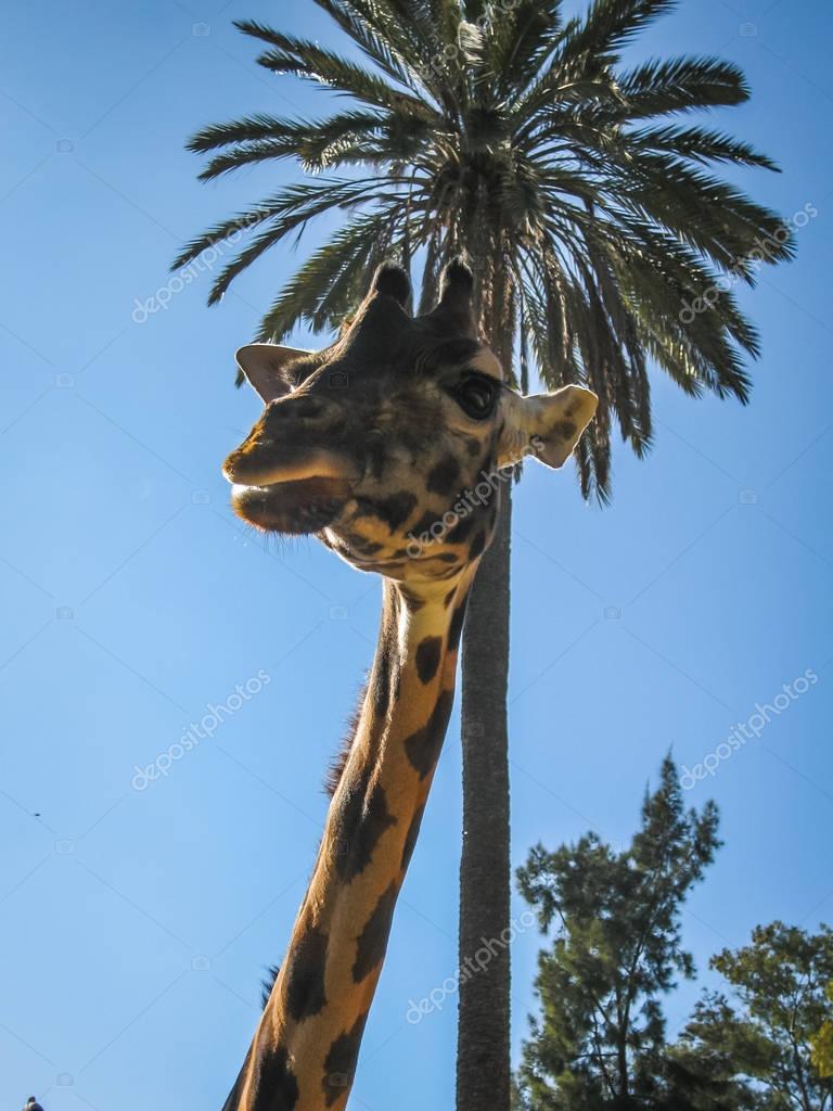 Close up image of a giraffe, Greece