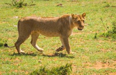 Lioness hunter in  Masai Mara nature reserve in Kenya