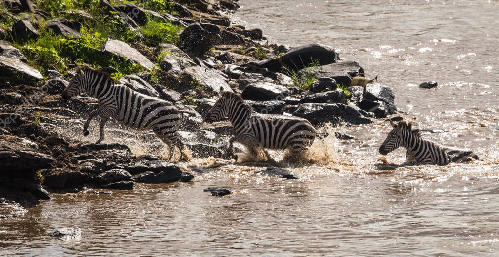 Zebras and wildebeest during migration from Serengeti to Masai M