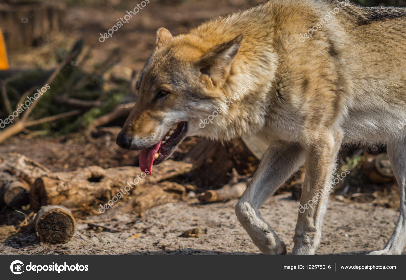 Wolf in natural habitat, Curonian Spit, Kaliningrad region