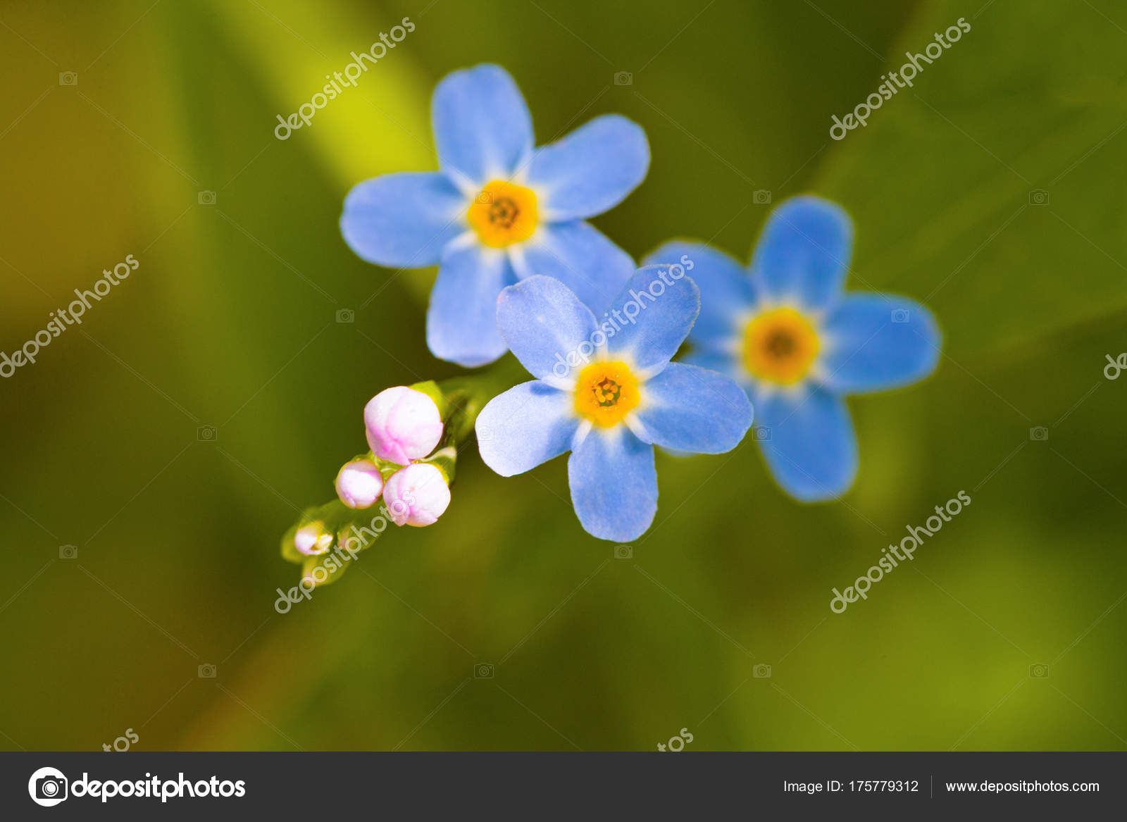 Macro Tiny Blue Flowers Forget Colorful Grass Background Nature