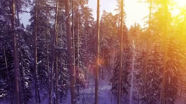 Letecké sluneční zateplený teplé slunce fly mezi sníh borovice lesní krásné pěkné Severní shot 4k uhd