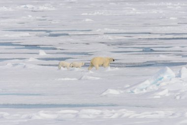 Polar bear mother (Ursus maritimus) and twin cubs on the ice