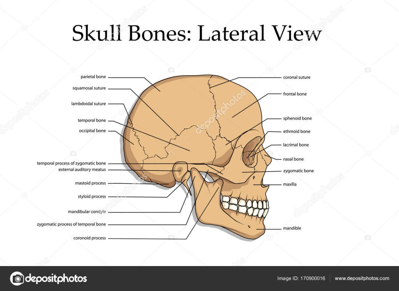 medizinische Schädel Knochen Plakat — Stockvektor © korniakovstock ...