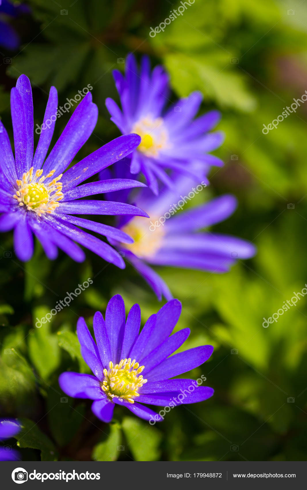 Violet Spring Flowers At Sunny Day In Garden Stock Photo Alexa