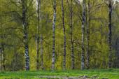 Birch tree forest v létě
