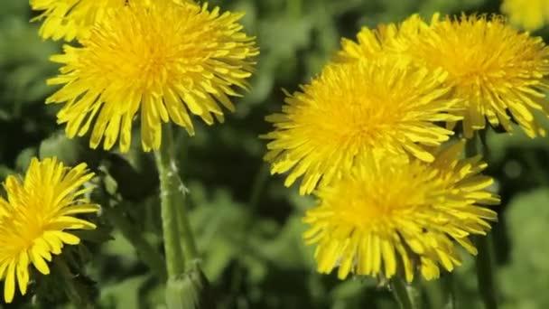 žluté pampelišky květiny