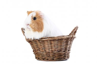 Guinea pig in basket isolated on white background