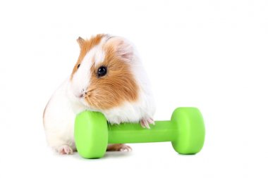 Guinea pig with green dumbbell isolated on white background