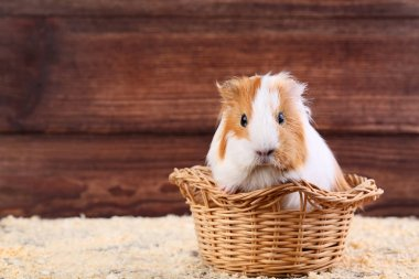 Guinea pig in basket on brown background