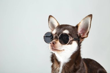 Chihuahua dog in sunglasses on grey background