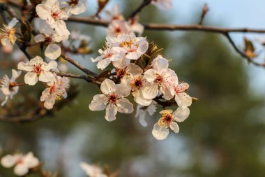 Spring flowering in orchard on blurry background