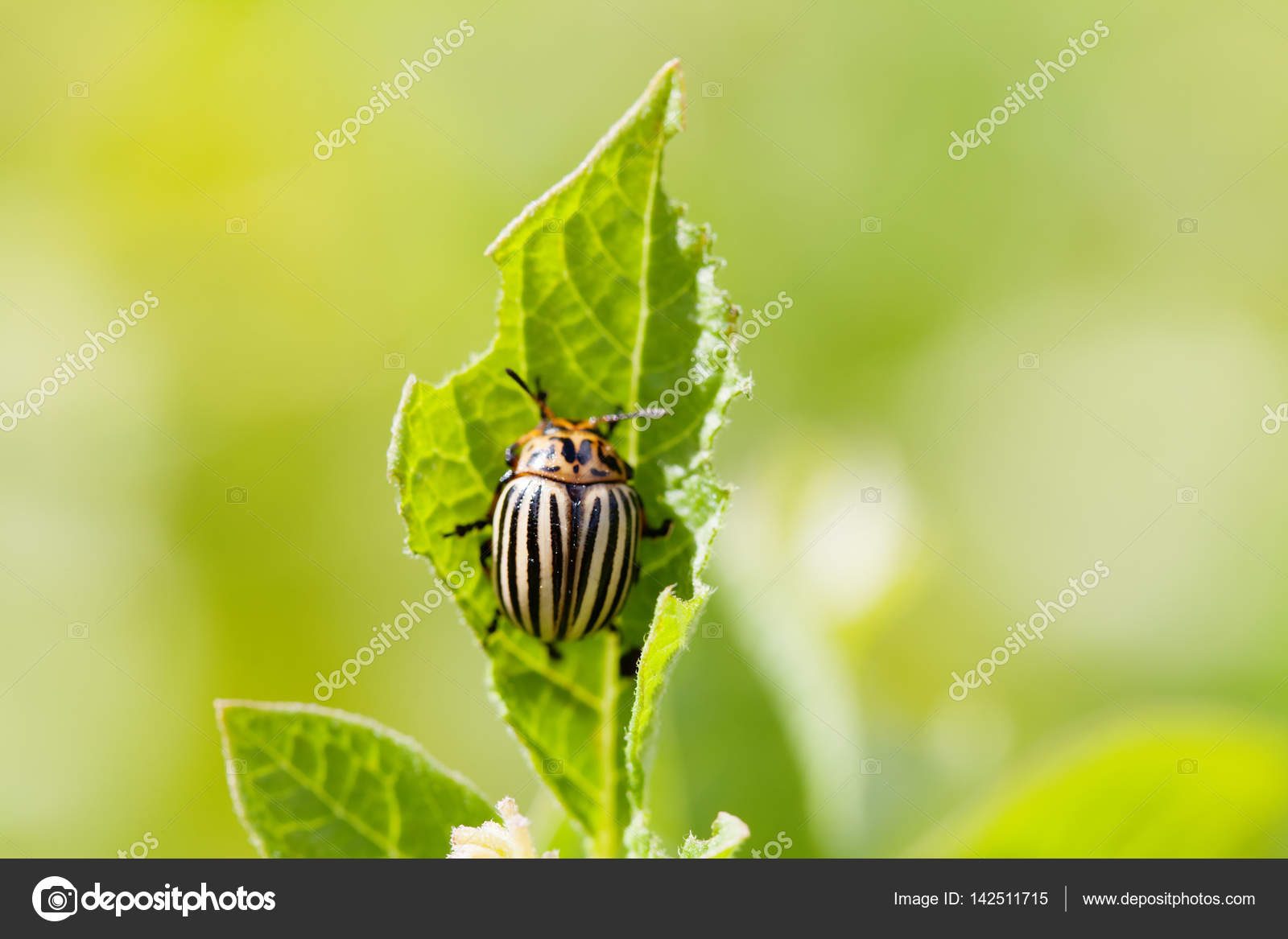 Colorado Potato Beetle On Damaged Green Leaf Macro View Insect Pest Use Selective Focus In Photography For Dummies Shallow Depth Of Field Photo By Besjunior