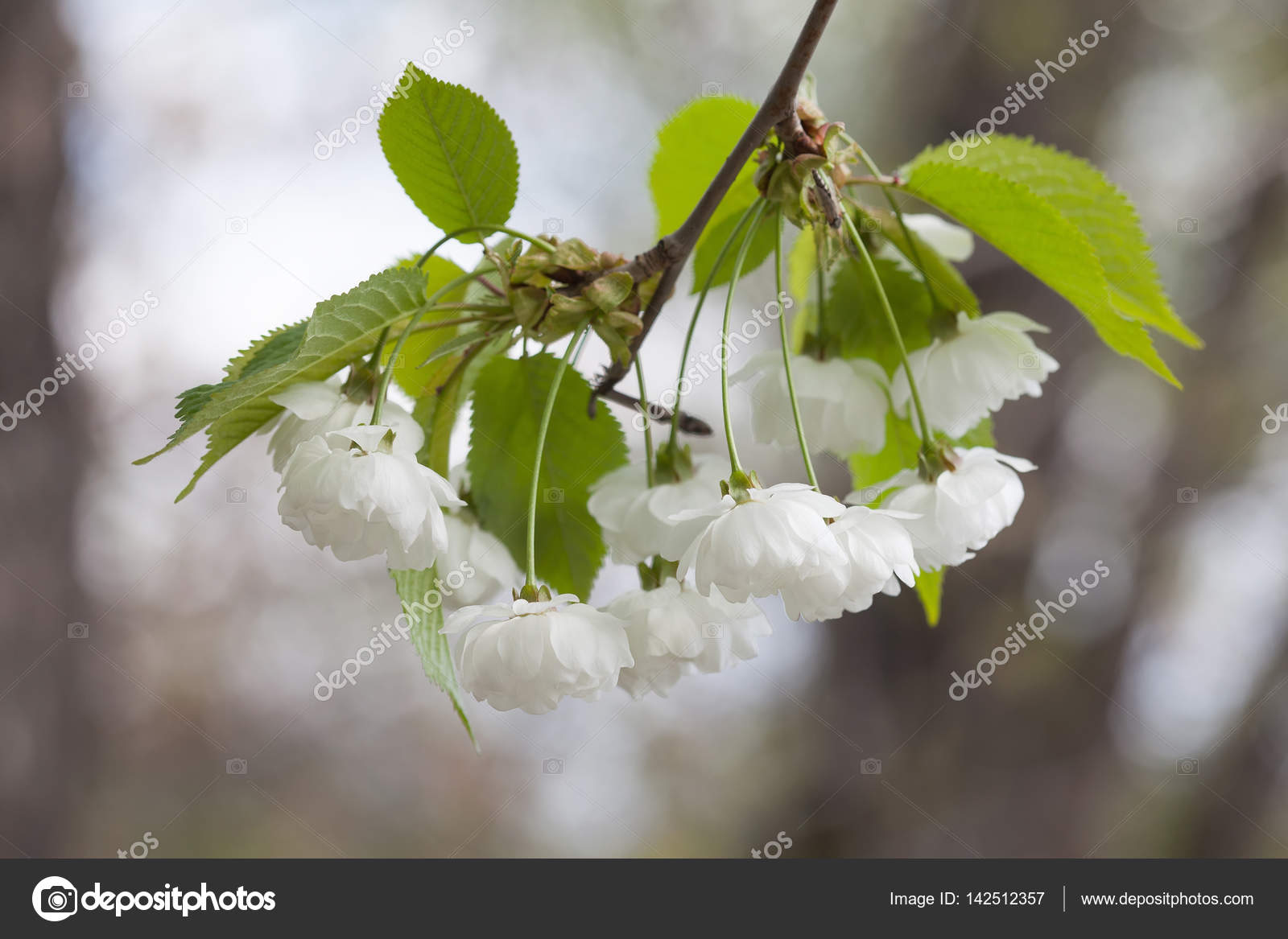 Blooming Chinese Apple Branch With White Flowers And Green Leaves