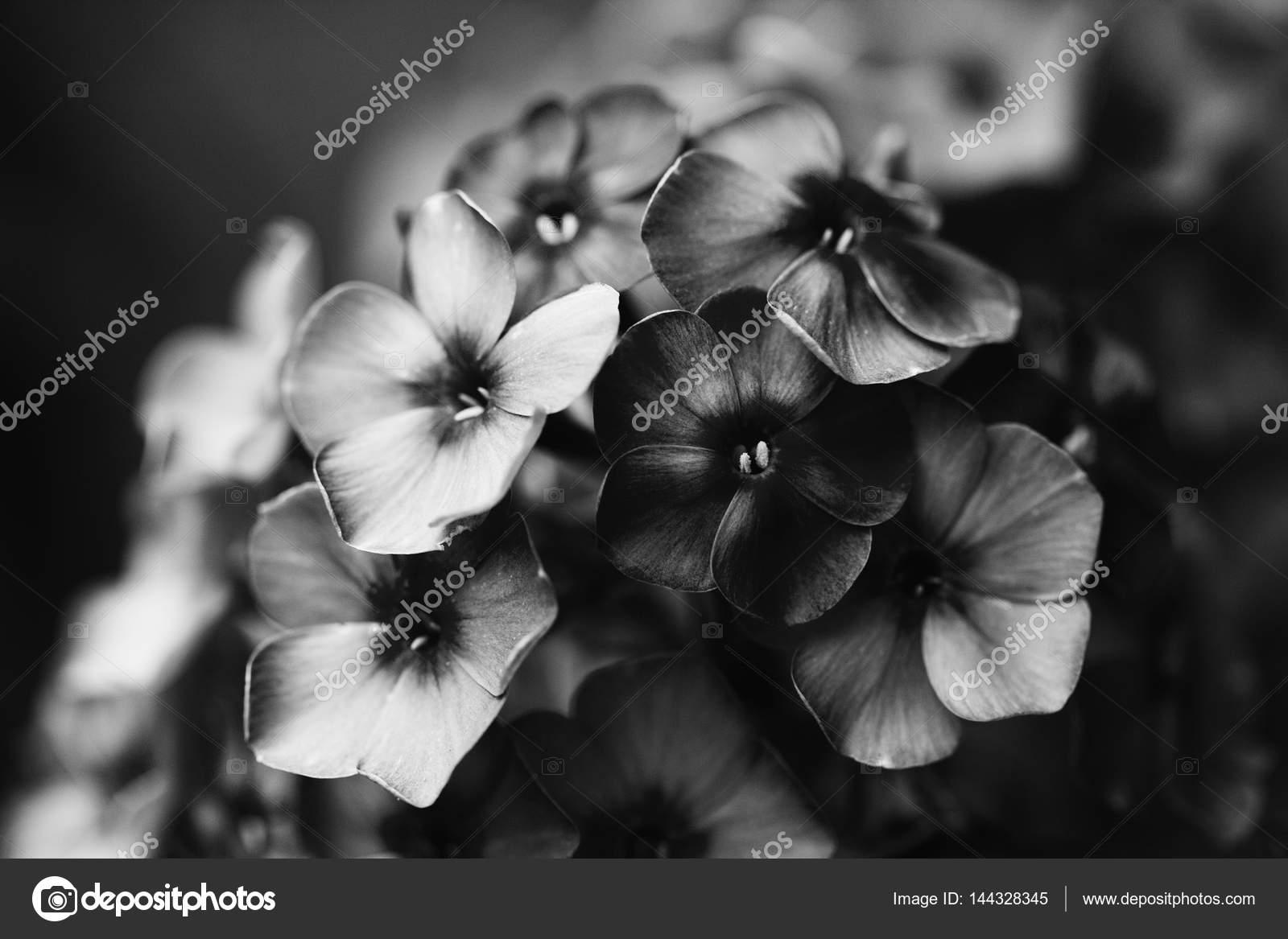 Black White Photo Beautiful Phlox Violet Flowers Noisy Film Camera