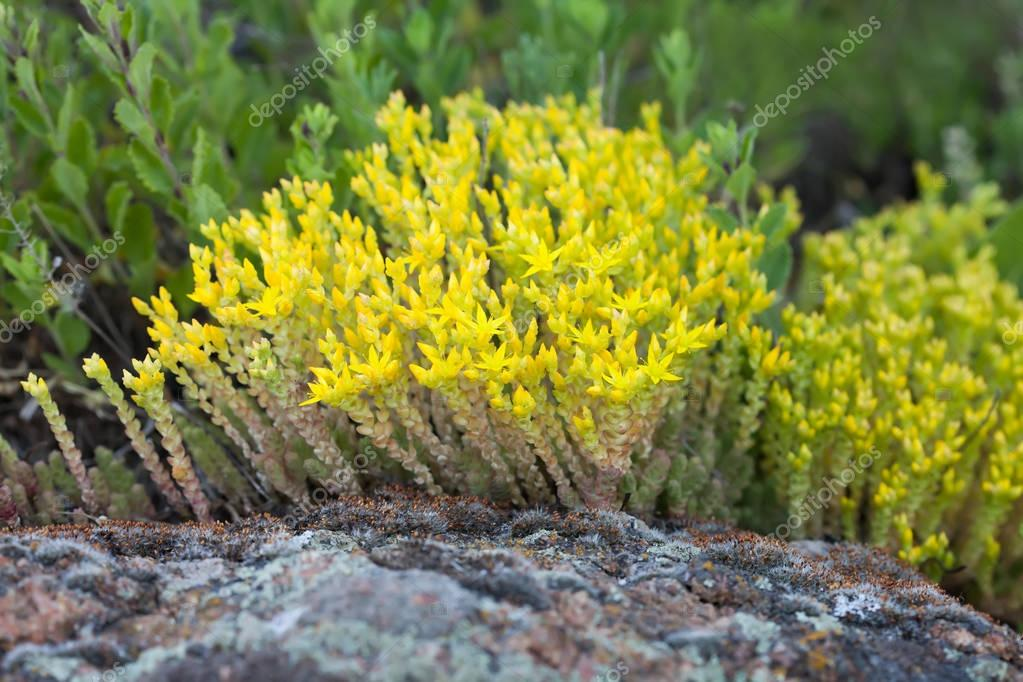Medical herb sedum acre, goldmoss mossy stonecrop. Yellow flowers tufted perennial plant in the family Crassulaceae. Shallow depth field.