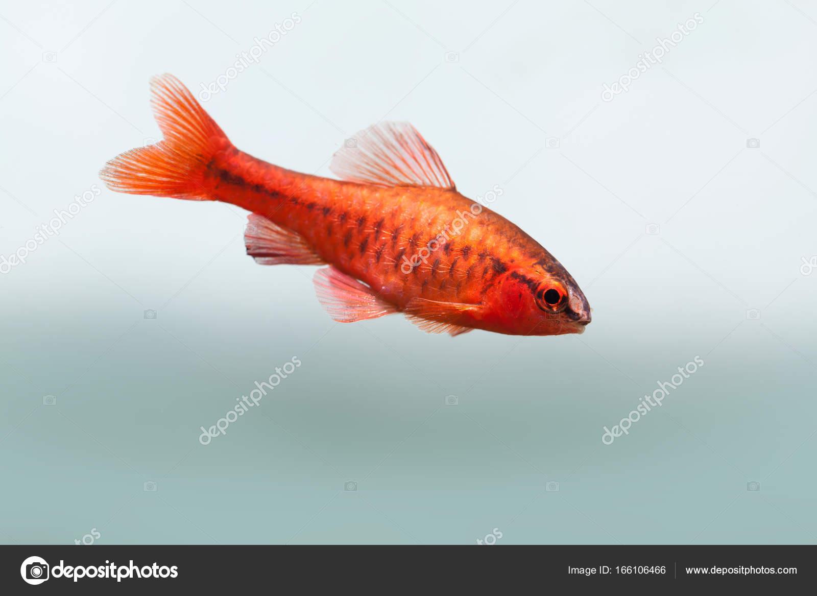Underwater aquarium still life scene. Red color tropical fish Barb ...