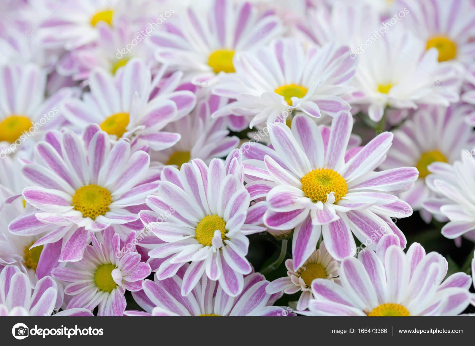 Violet chrysanthemums floral background colorful white pink yellow violet chrysanthemums floral background colorful white pink yellow mums flowers stock photo mightylinksfo