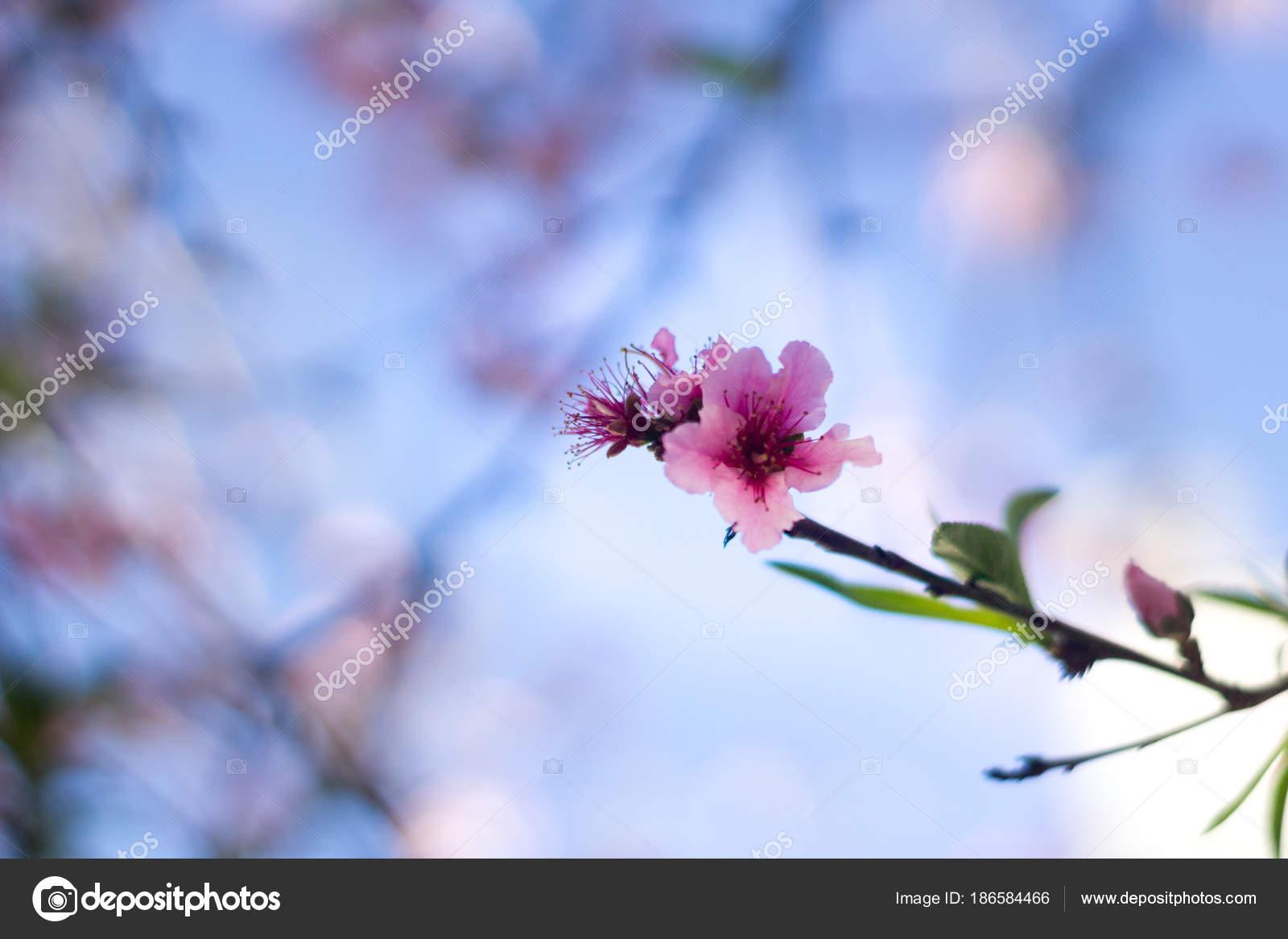 Chiuda Della Rosa Fiori Pesco Sfondo Blu Cielo Foto Stock