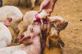 Nahaufnahme Foto von niedlichen schmutzigen kleinen Schweinchen Konsummilch aus Babyflasche in Hof