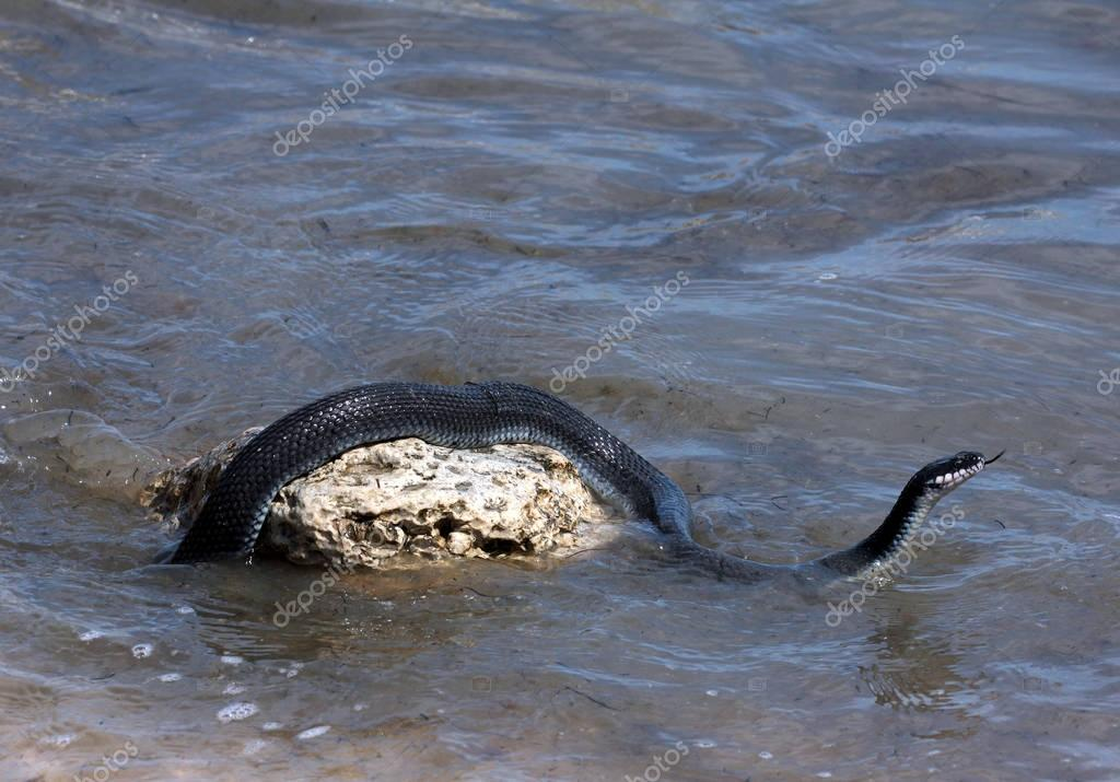 Caspian water snake (Natrix tessellata)