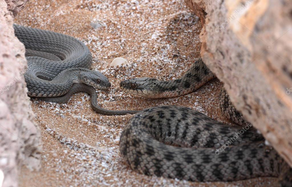 tete-a-tete of Caspian water snake (Natrix tessellata)