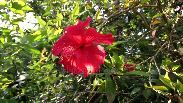 Zblízka červený ibišek květ v parku