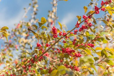 Beautiful Texas Winterberry Ilex Decidua red fruits on tree branches on sunny fall day