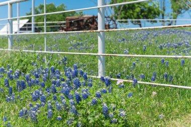 """Картина, постер, плакат, фотообои """"Цветущие поля Bluebonnet вдоль деревенского белого забора в сельской местности Техаса, Штат Ыса. Природа весны полевых цветов полный цветок снова ясное голубое небо"""", артикул 323879790"""