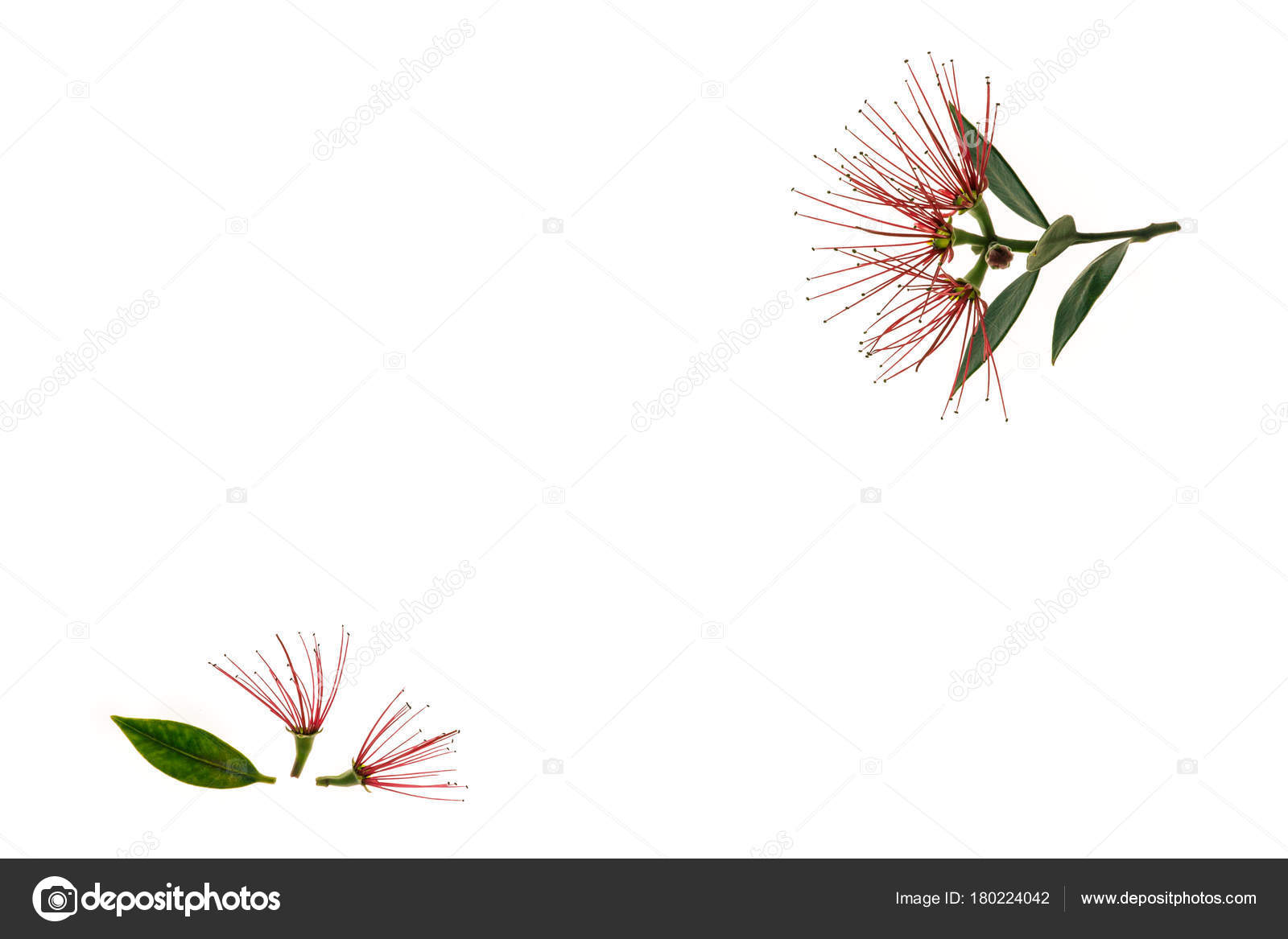 New Zealand Christmas Tree Flowers White Background Stock Photo