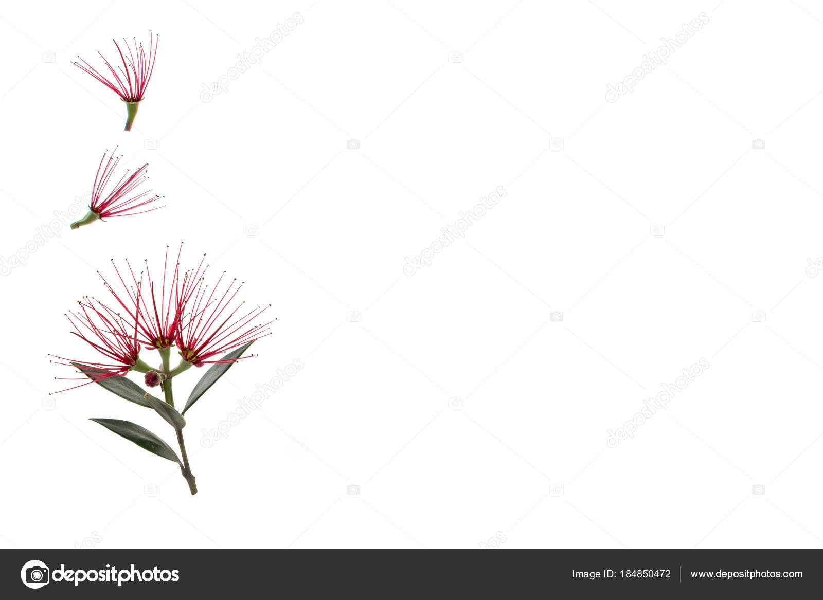 New Zealand Christmas Tree Flowers Isolated White Background Stock
