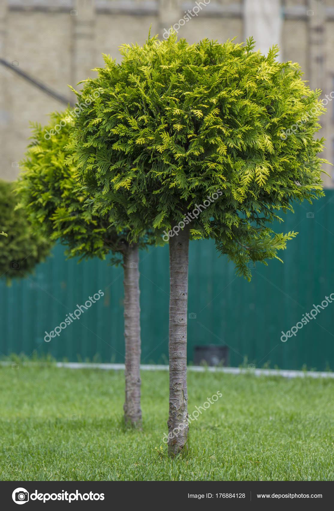 Application Of Globular Shredded Thuja In A Landscape Design Stock Photo Image By C Maykal 176884128