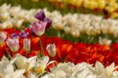 Tavaszi táj többszínű tulipán. Természet háttér