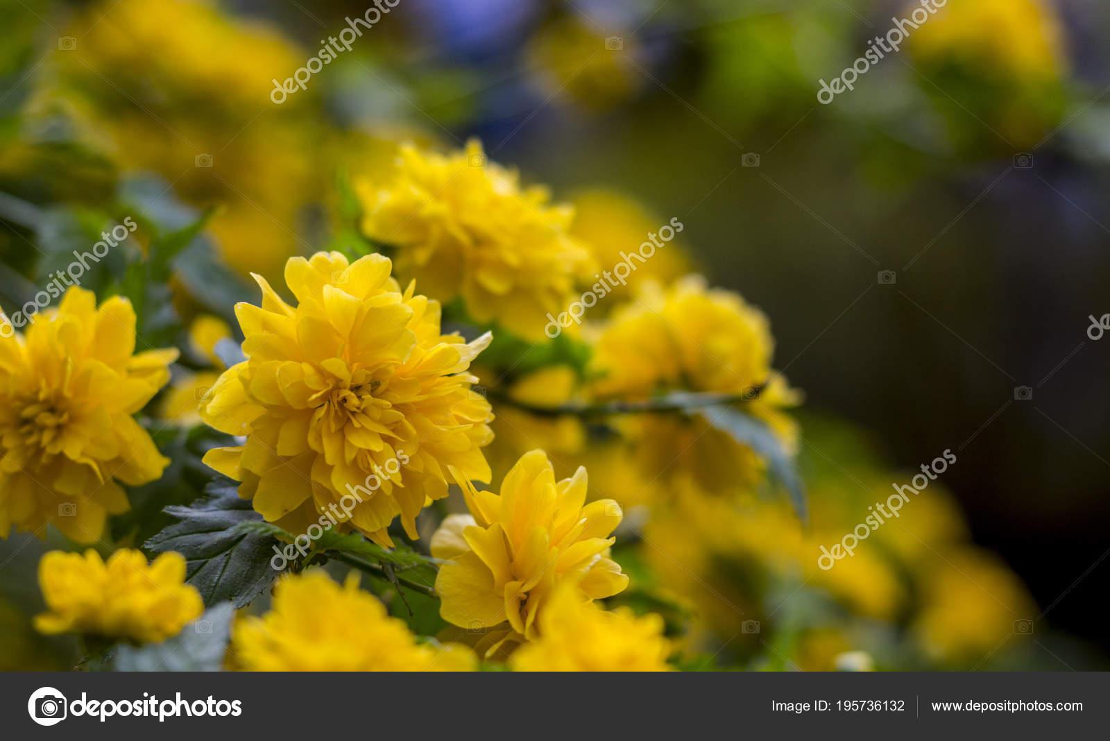Kerria Japonica A Beautiful Yellow Flowering Shrub Stock Photo