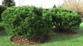Velká, trpasličí borovice, Pinus mugo v zahradě na trávě. Pomalý růst rostlin pro plnění alpských skluzavek, květinových záhonů a dalších krajinářských prvků. Krásná věčně zelená rostlina.