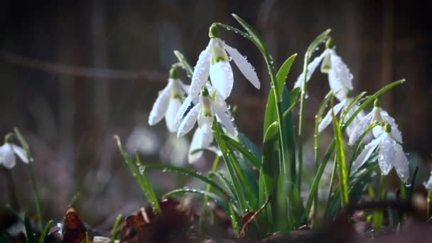 Snowdrop Galanthus, gorgeous white flower in the forest, closeup, background or texture, spring concept. With space for text