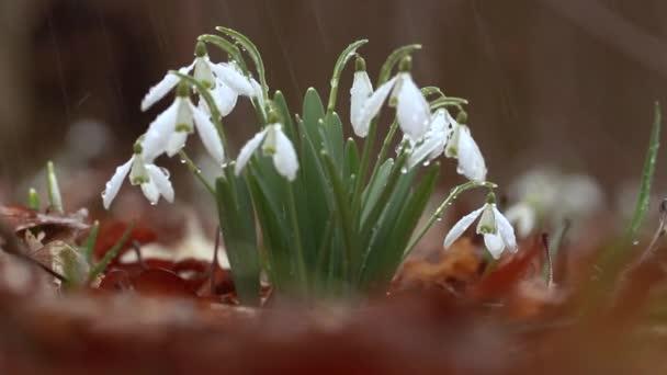 Snowdrop Galanthus, nádherný bílý květ v lese, detailní záběr, pozadí nebo textura, jarní koncept. S mezerou pro text